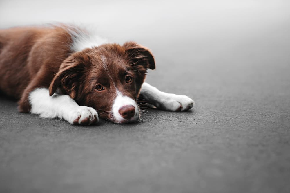 Dog sad laying down