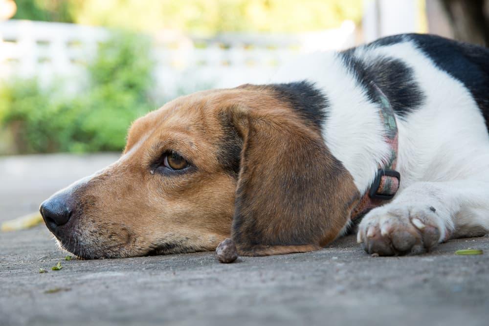 Dog laying down sad on the pavement