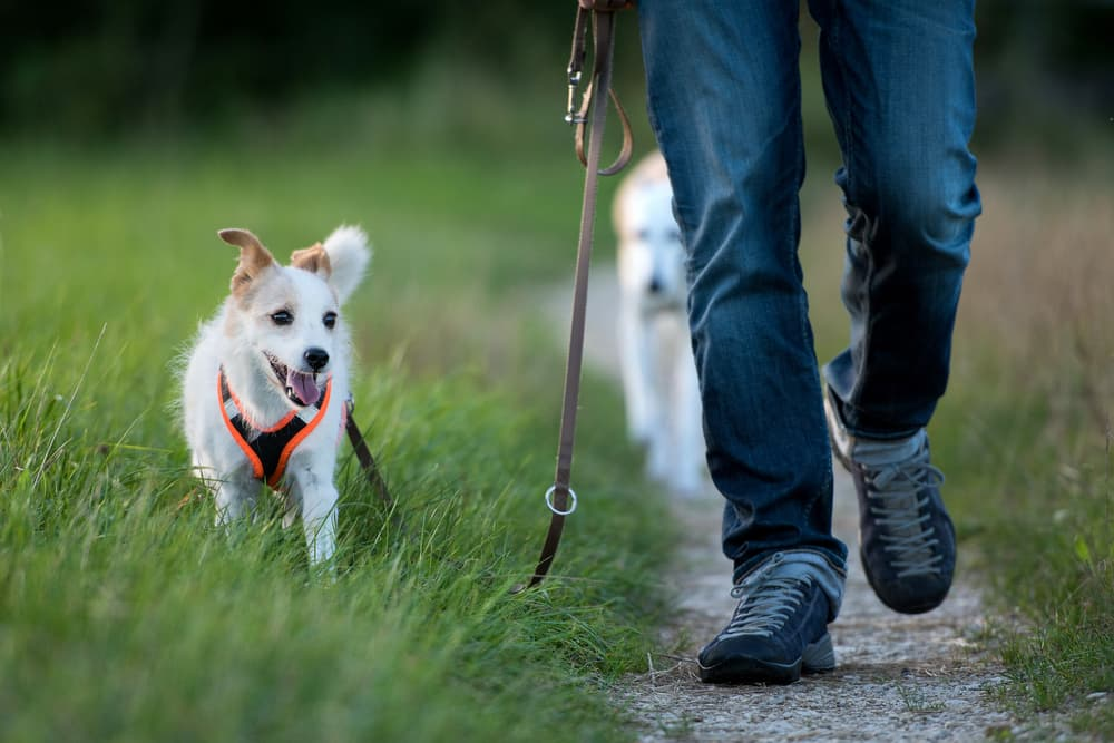 Walking with dogs in a grassy field to prevent Interdigital Cyst on Dogs