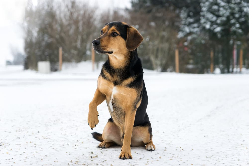 Dog walking with injured paw in the snow