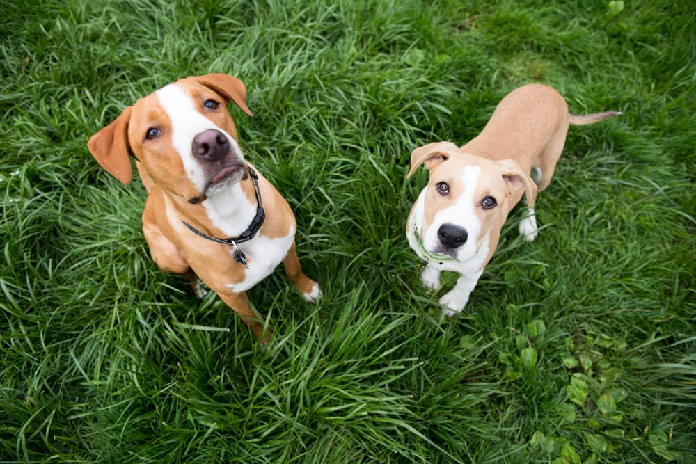 Two Young Puppies Standing in Lush Green Grass Outside