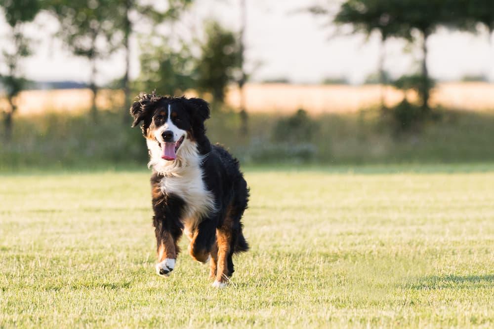 Bernese Mountain dog running on lawn