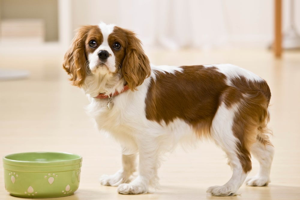 Dog looking up with empty food bowl