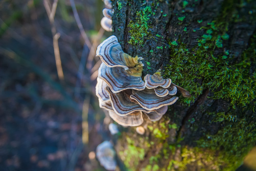 Turkey tail mushrooms for dogs