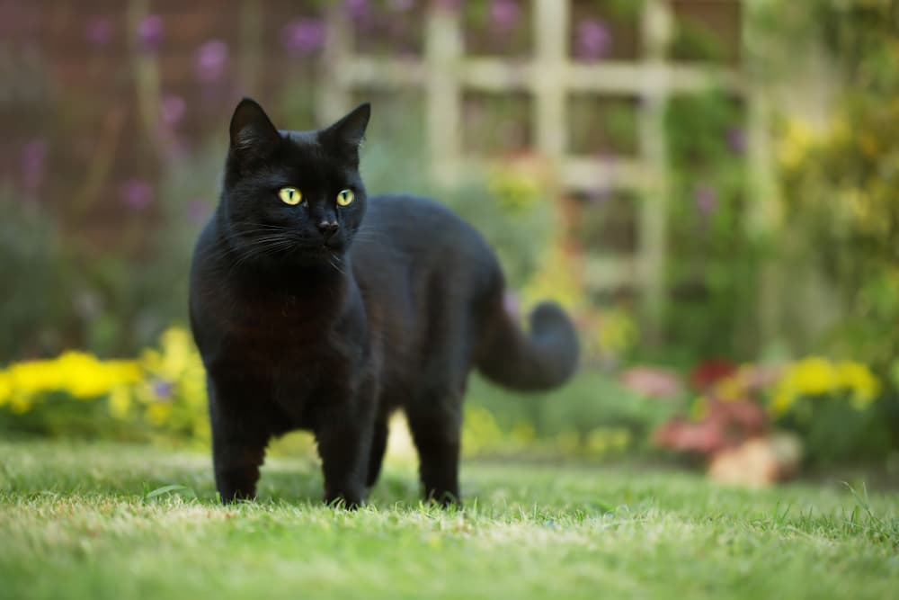 Black cat walking on the grass
