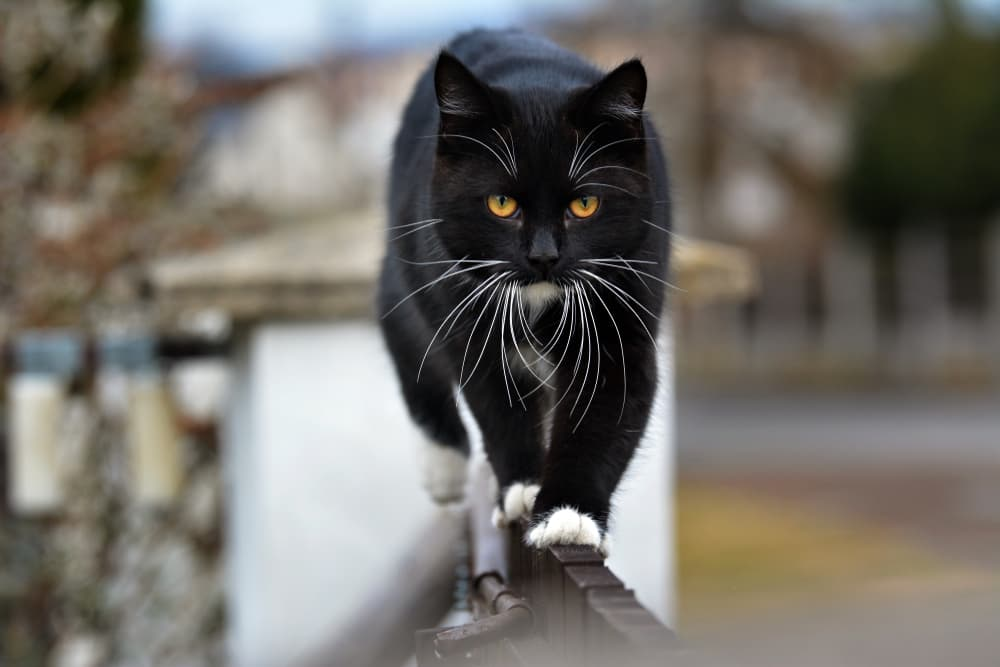 Black cat with white feet walking on a railing