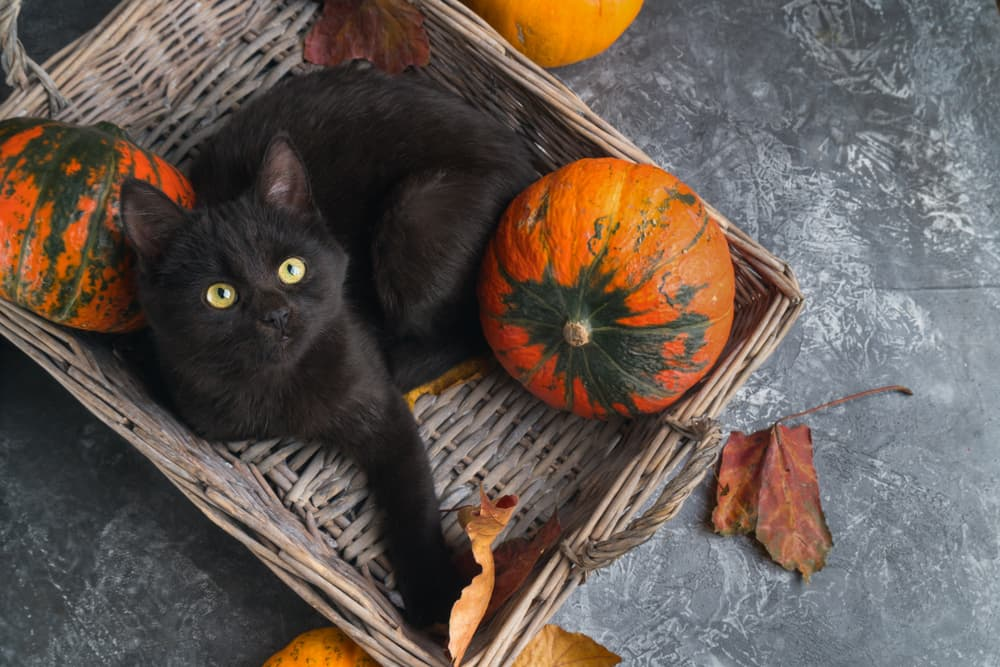 Cat laying in a basket with pumpkins
