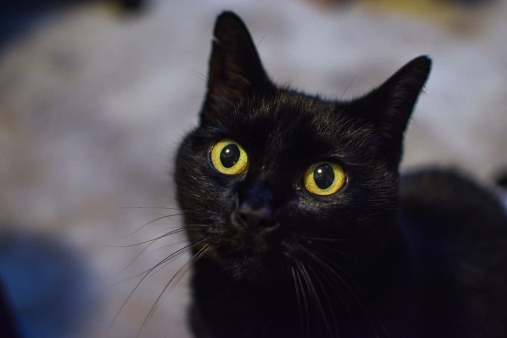 Close up of black cat with big eyes