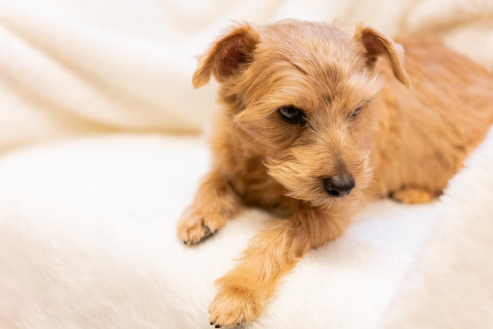Norfolk Terrier dog sitting on a sofa