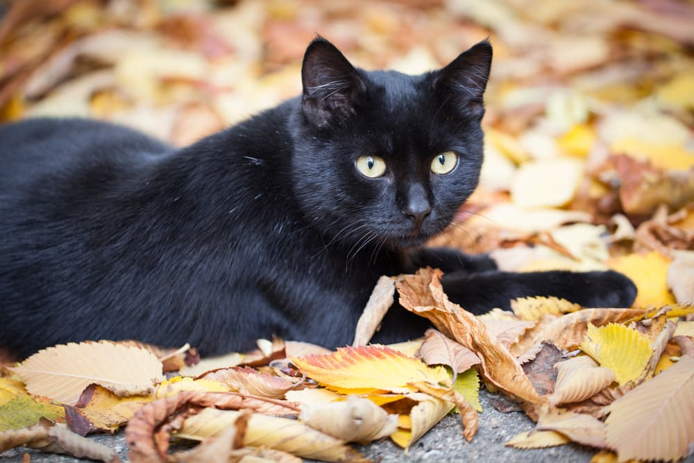 Black cat laying in a pile of leaves outside