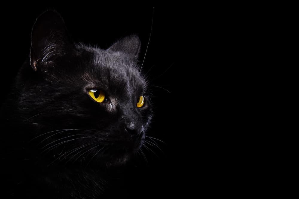 Black cat in a black background