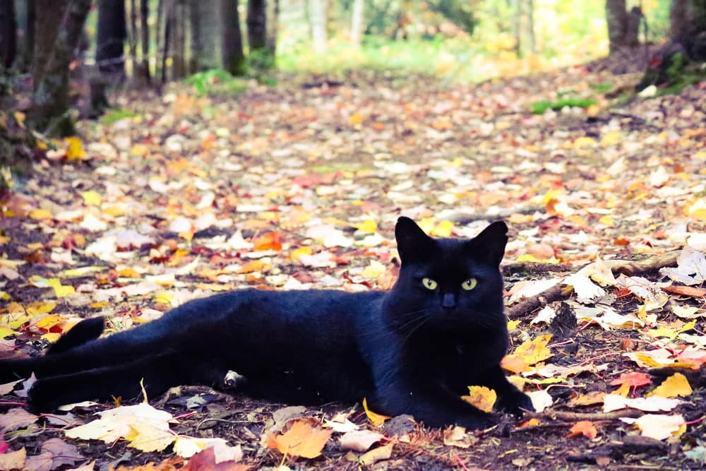 Black cat laying in the woods with leaves all around