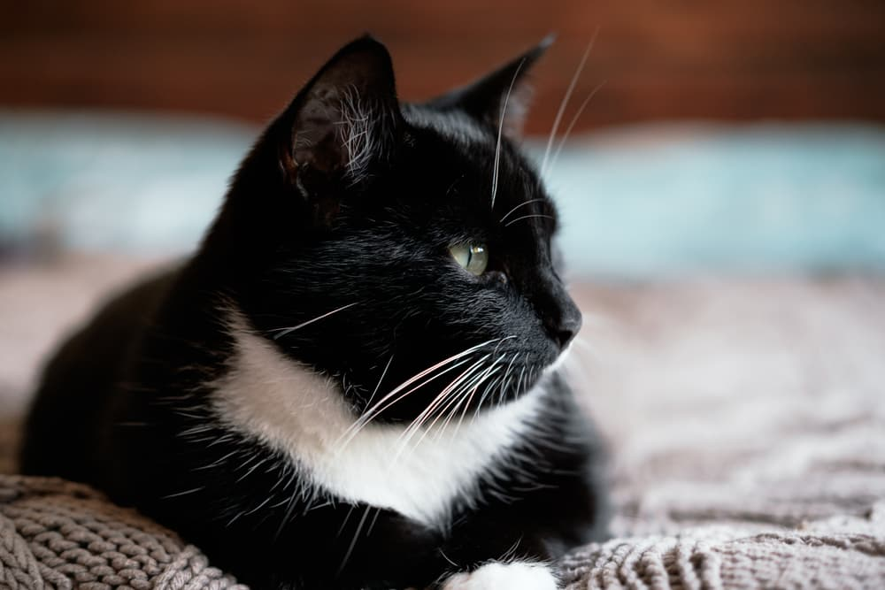 Black and white cat laying on a bed