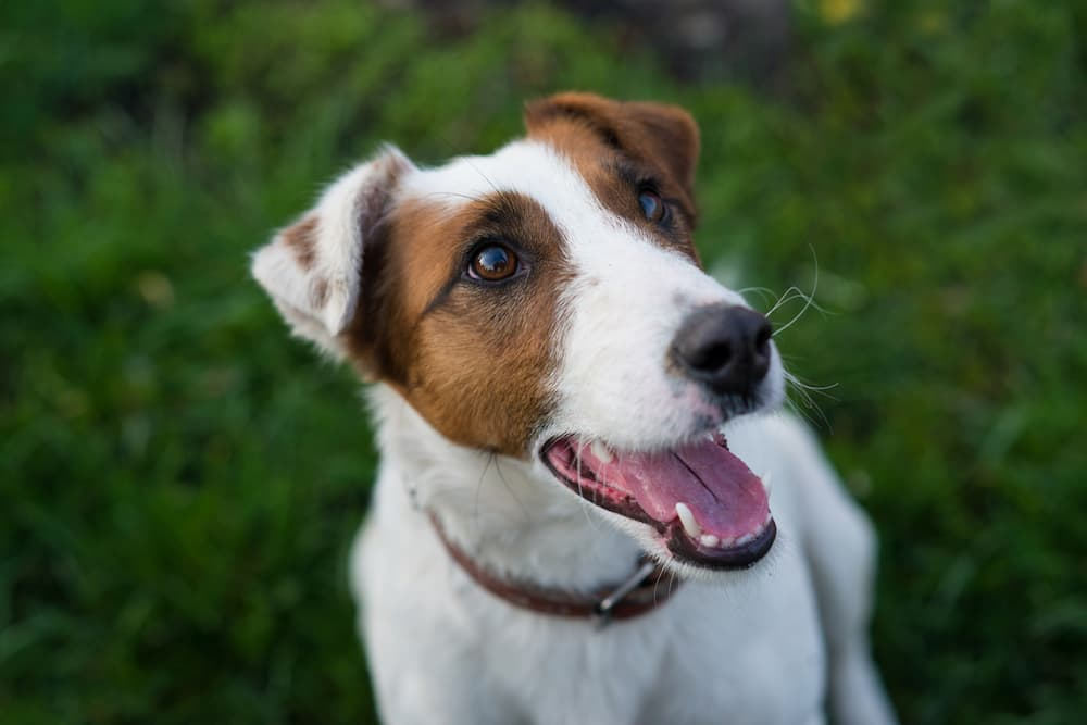 Cute dog looking up to camera smiling