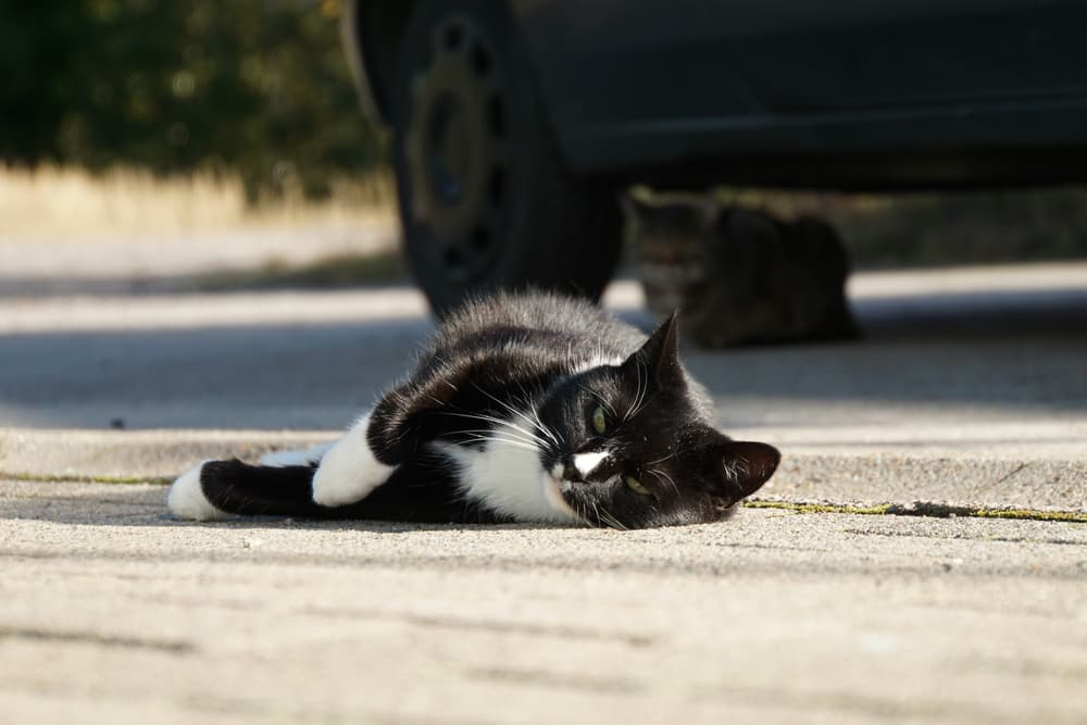 Black and white cat laying down on the cement