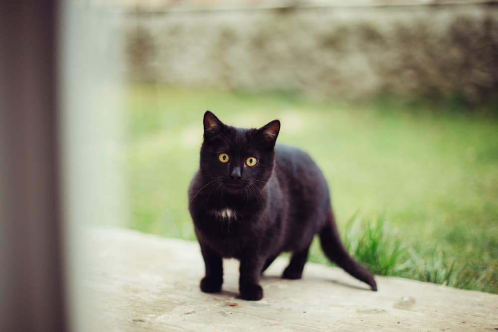 portrait of a little black cat