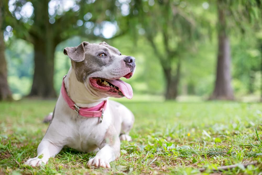 A happy gray and white Staffordshire Bull Terrier mixed breed dog lying down in the grass and panting