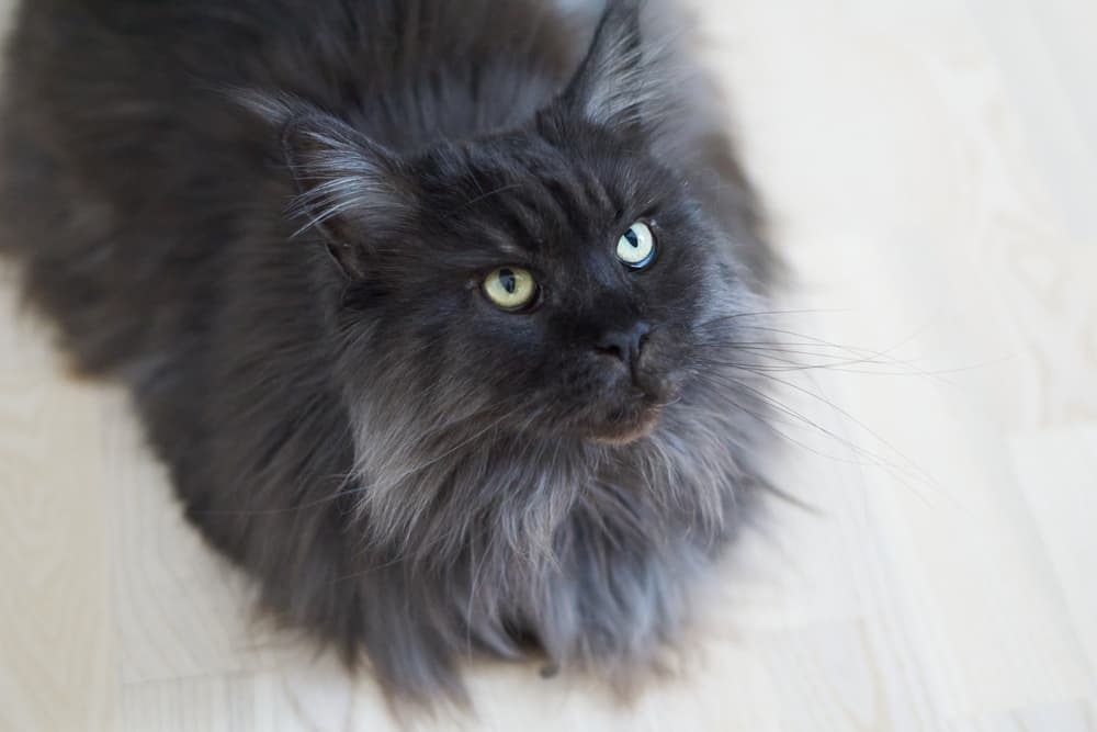 Black cat wth greying ends of hair