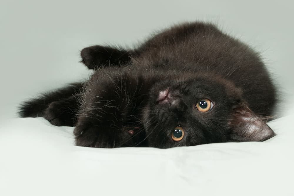 Black kitten laying in a bed