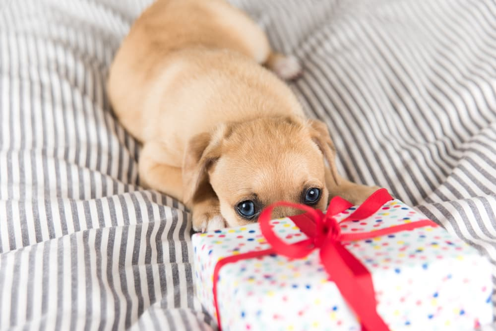 Puppy with present on striped bed