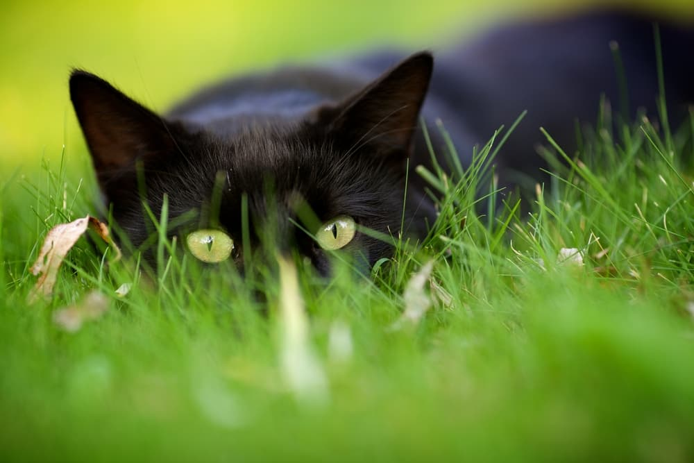Black cat laying in the grass