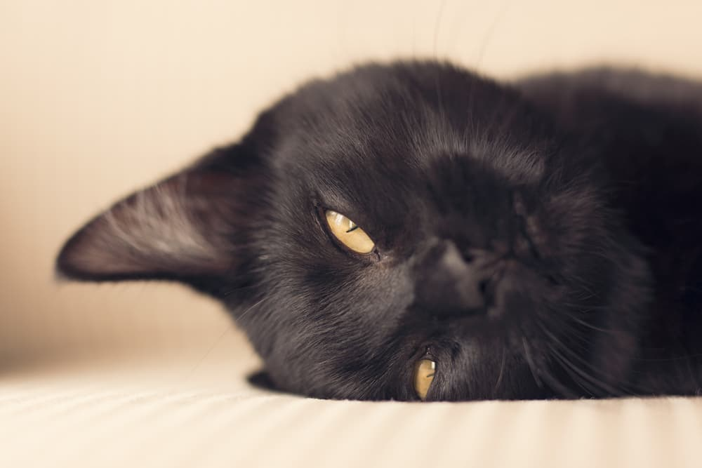 Black cat laying down looking cute