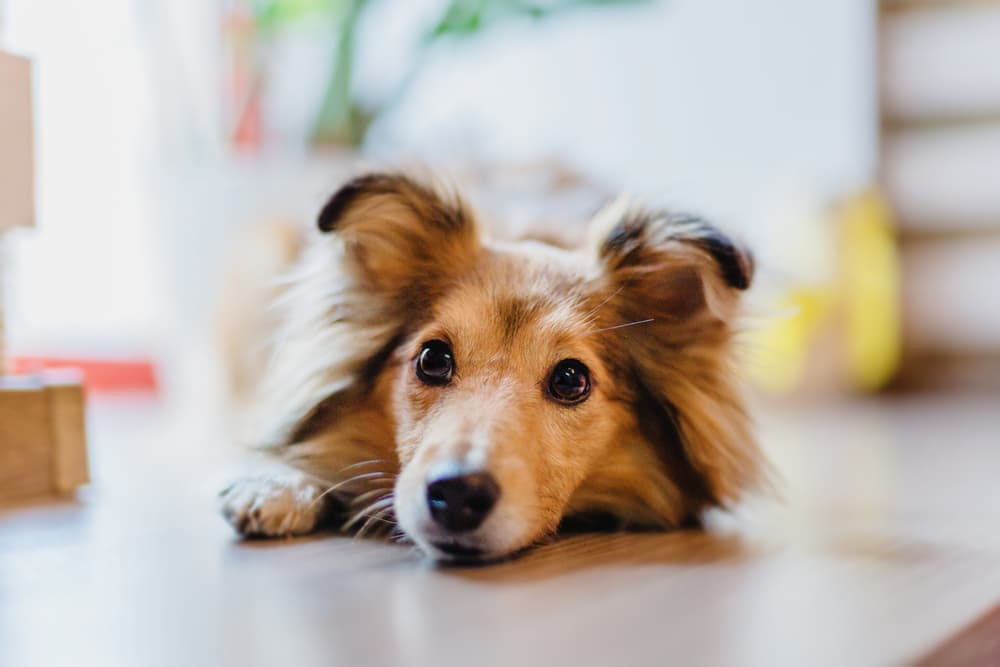 Dog laying down on floor looking up at owner wondering about vitamin e for dogs