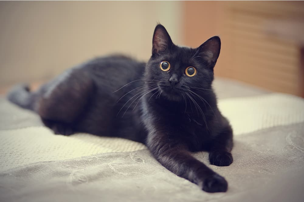 Black cat laying on the bed while thinking of names for black cats