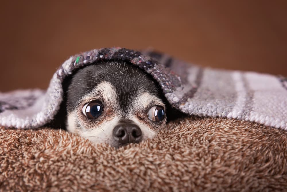 What is Anxiety in Pets?