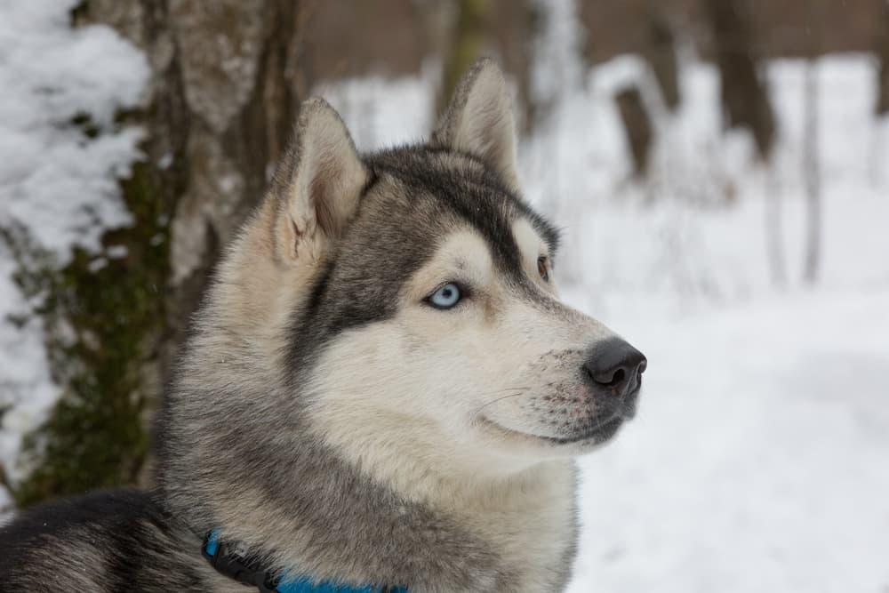 Calm and confident husky