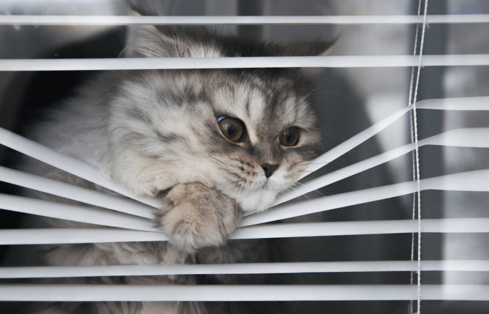 Can my cat get separation anxiety? Silver tabby is bending blinds to watch for pet parent