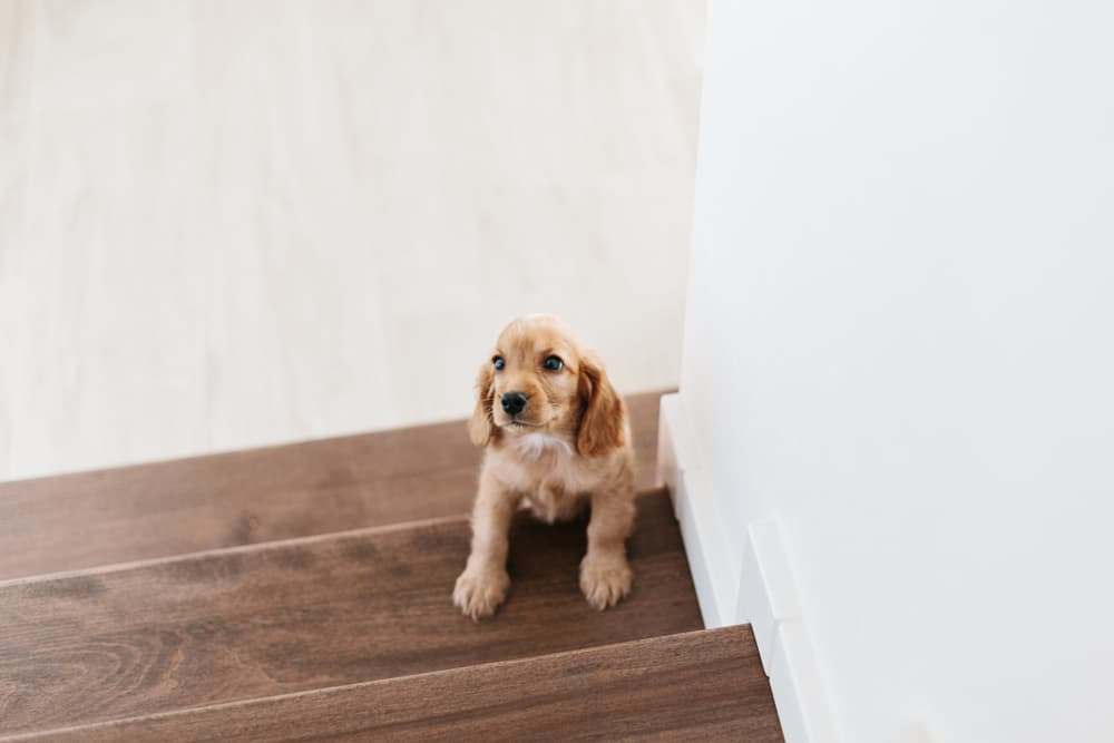 puppy afraid to go up the stairs