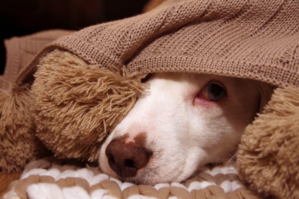 Dog hiding under a blanket at night