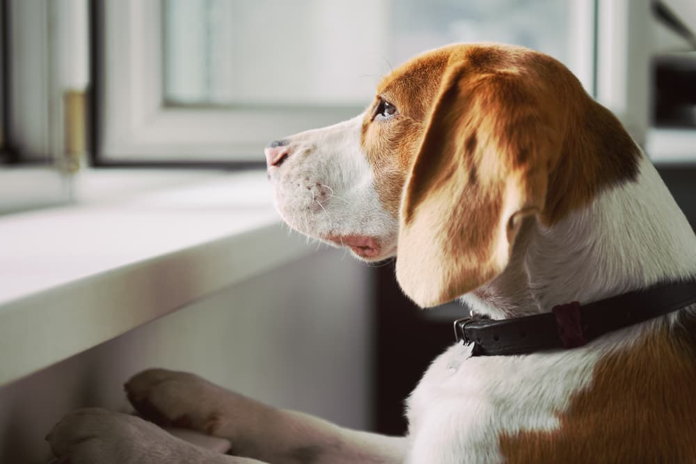dog staring out window