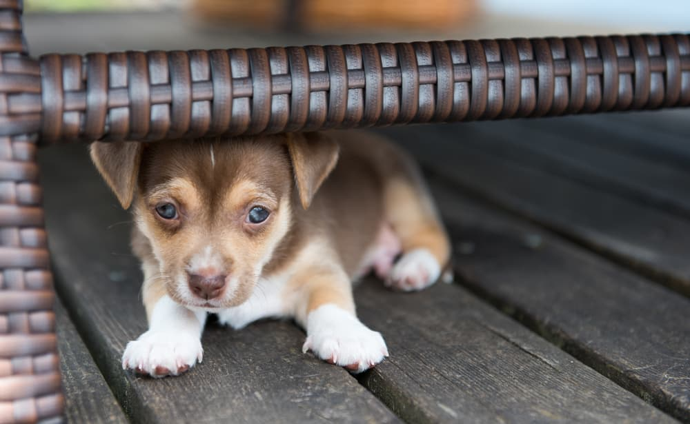 puppy hiding during fear period