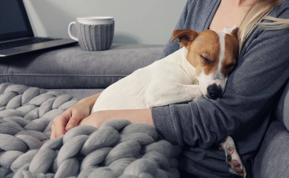 Jack Russell resting