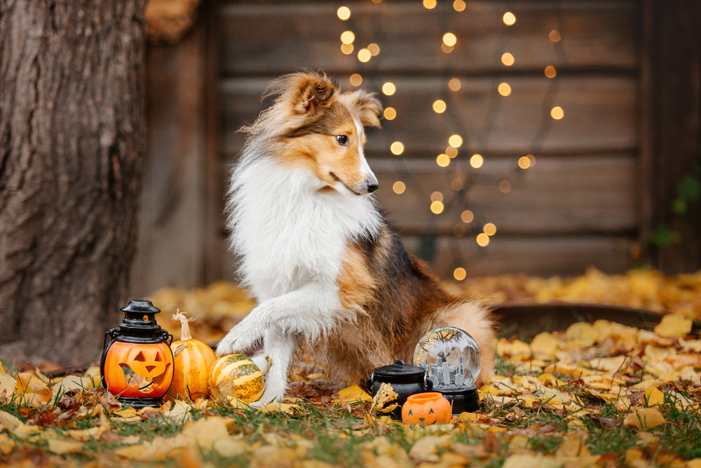 Dog scared of Halloween decorations
