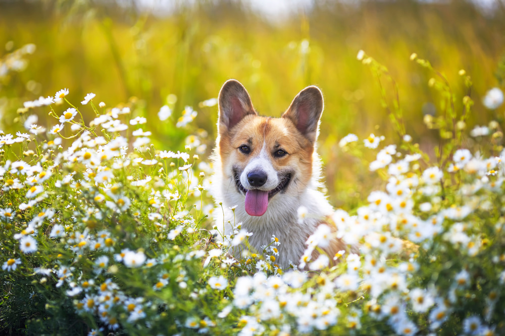 Chamomile for Dogs: Benefits and Uses