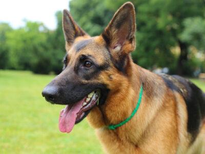 10 Dog Breeds Prone to Hip Dysplasia