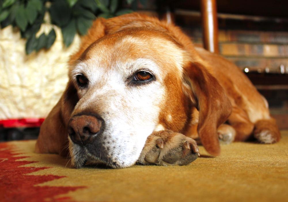 Old dog resting on carpet