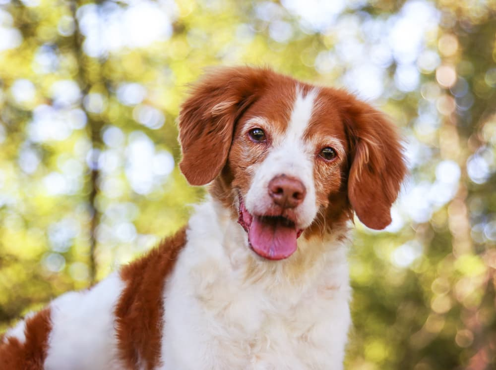 Senior dog smiling outside