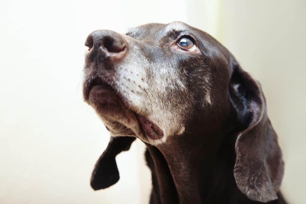 Sweet senior dog looking up