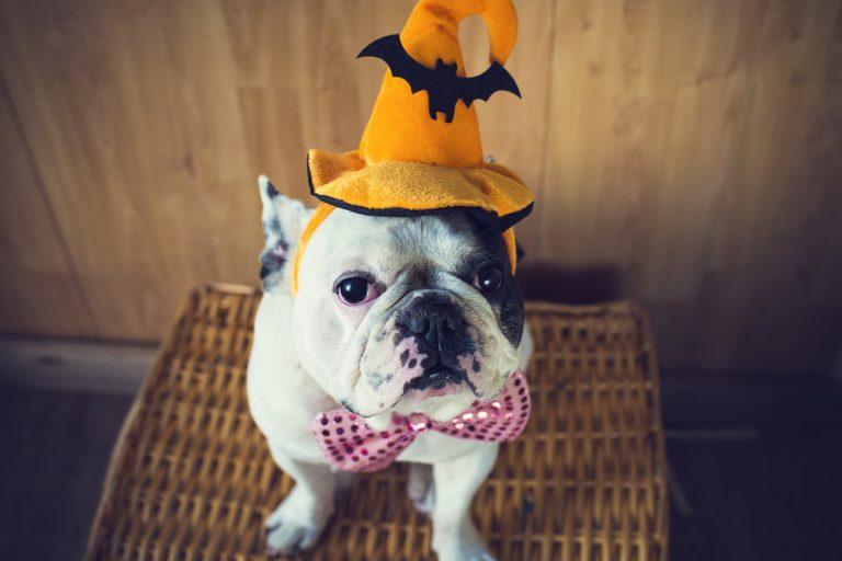 Bulldog in Halloween hat