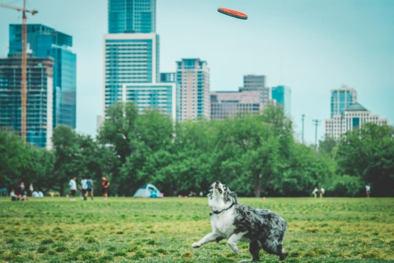 Dog playing in Austin park