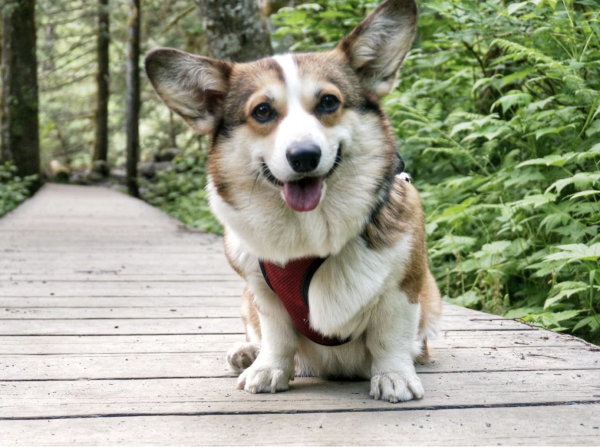 20 Fluffy Corgi Pictures You NEED In Your Life